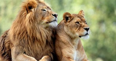 Lions Need To Be Protected To Avert Extinction