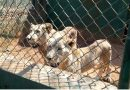 "Public health risks from ""The Sick 5"" go unchecked in the captive lion breeding industry"